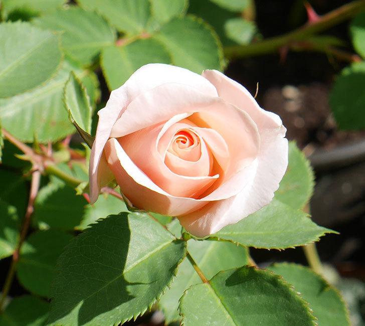 プリティ・レディ(木立バラ)の花がまた咲きだした。2018年-8.jpg