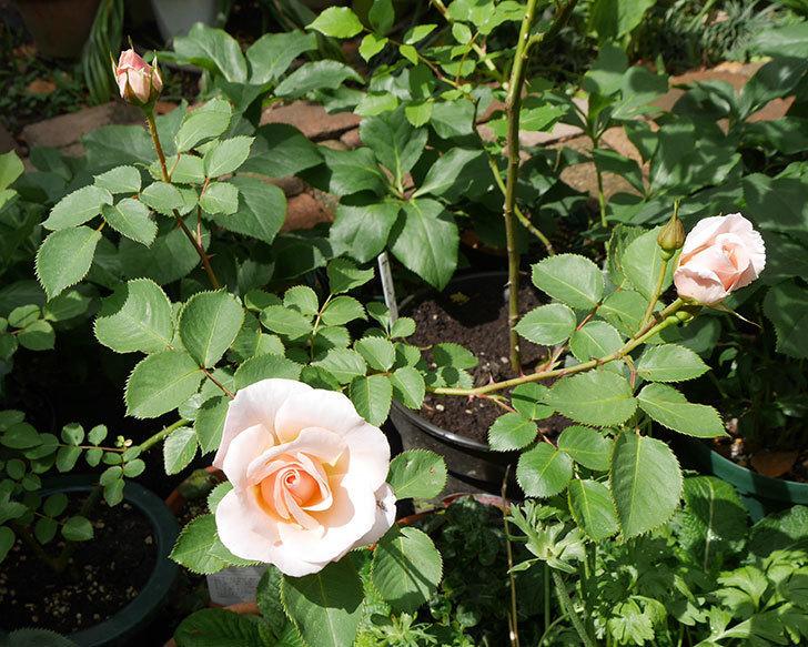 プリティ・レディ(木立バラ)の花がまた咲きだした。2018年-9.jpg