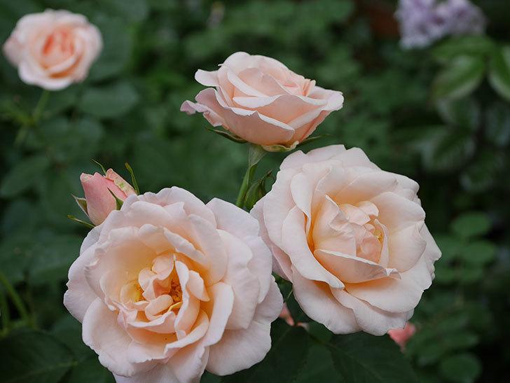 プリティ・レディ(木立バラ)の花がまた増えて来た。2019年-1.jpg