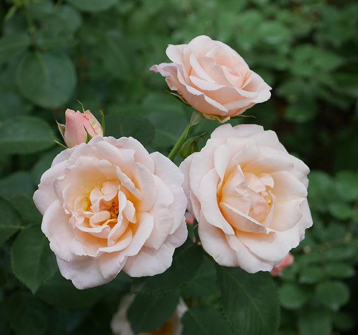 プリティ・レディ(木立バラ)の花がまた増えて来た。2019年-10.jpg