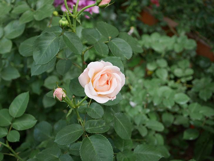 プリティ・レディ(木立バラ)の花がまた増えて来た。2019年-11.jpg
