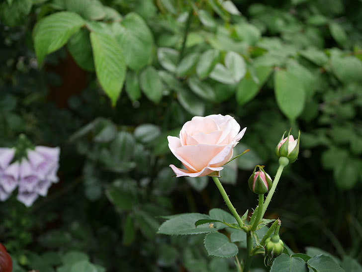 プリティ・レディ(木立バラ)の花がまた増えて来た。2019年-2.jpg