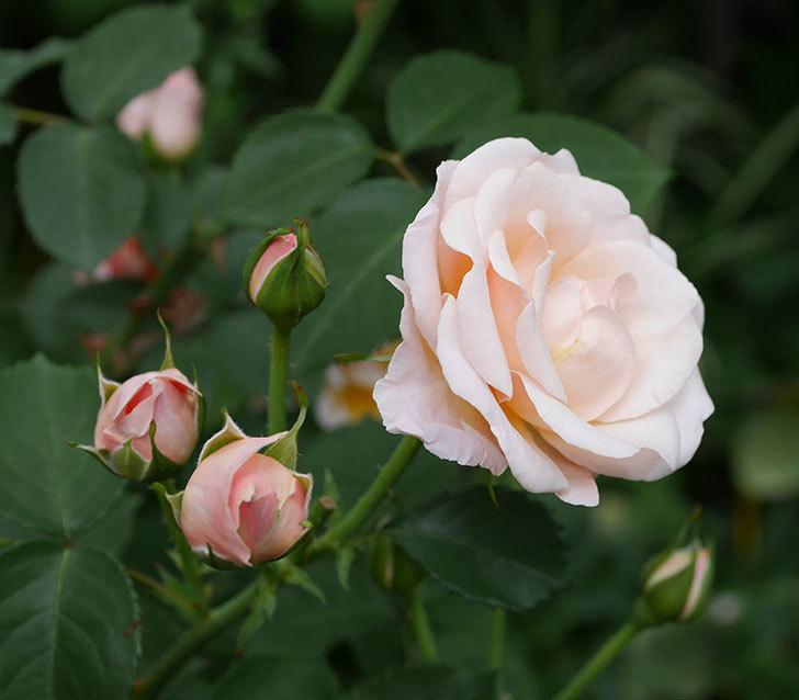 プリティ・レディ(木立バラ)の花がまた増えて来た。2019年-4.jpg