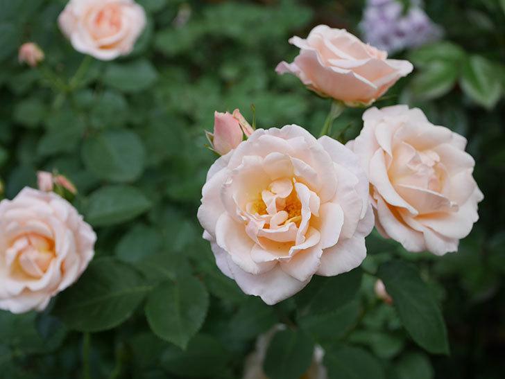 プリティ・レディ(木立バラ)の花がまた増えて来た。2019年-5.jpg