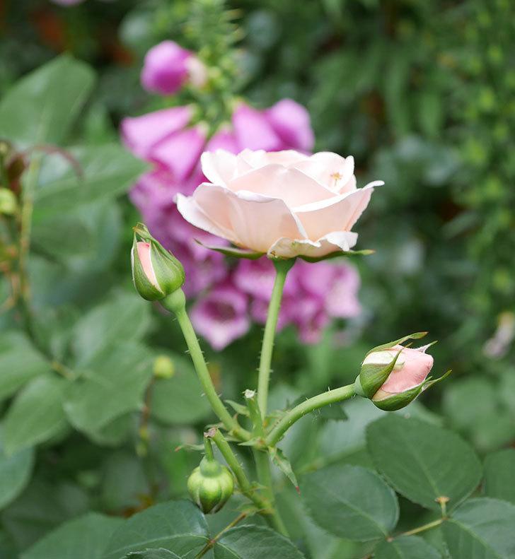 プリティ・レディ(木立バラ)の花がまた増えて来た。2019年-8.jpg
