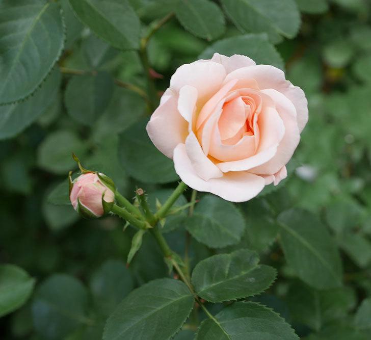 プリティ・レディ(木立バラ)の花がまた増えて来た。2019年-9.jpg