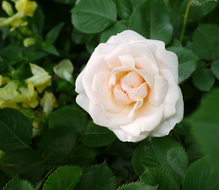 プリティ・レディ(木立バラ)の花が咲いた。2017年-1.jpg