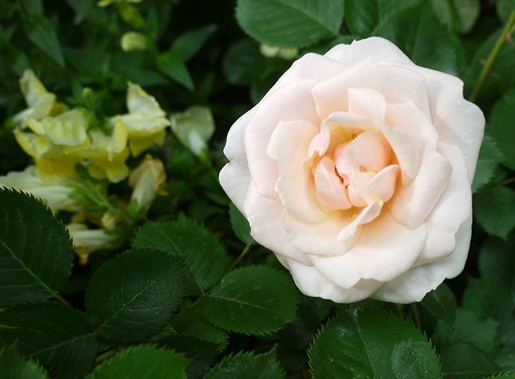 プリティ・レディ(木立バラ)の花が咲いた。2017年-2.jpg