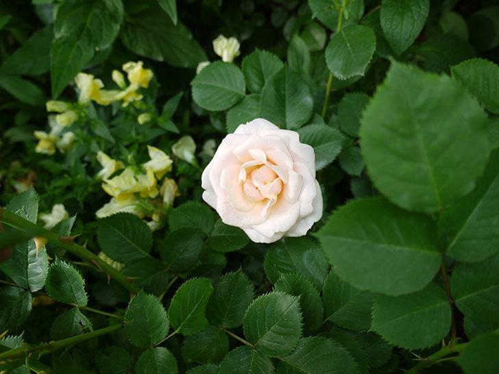 プリティ・レディ(木立バラ)の花が咲いた。2017年-3.jpg