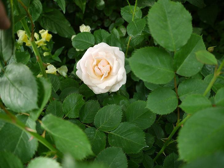 プリティ・レディ(木立バラ)の花が咲いた。2017年-4.jpg