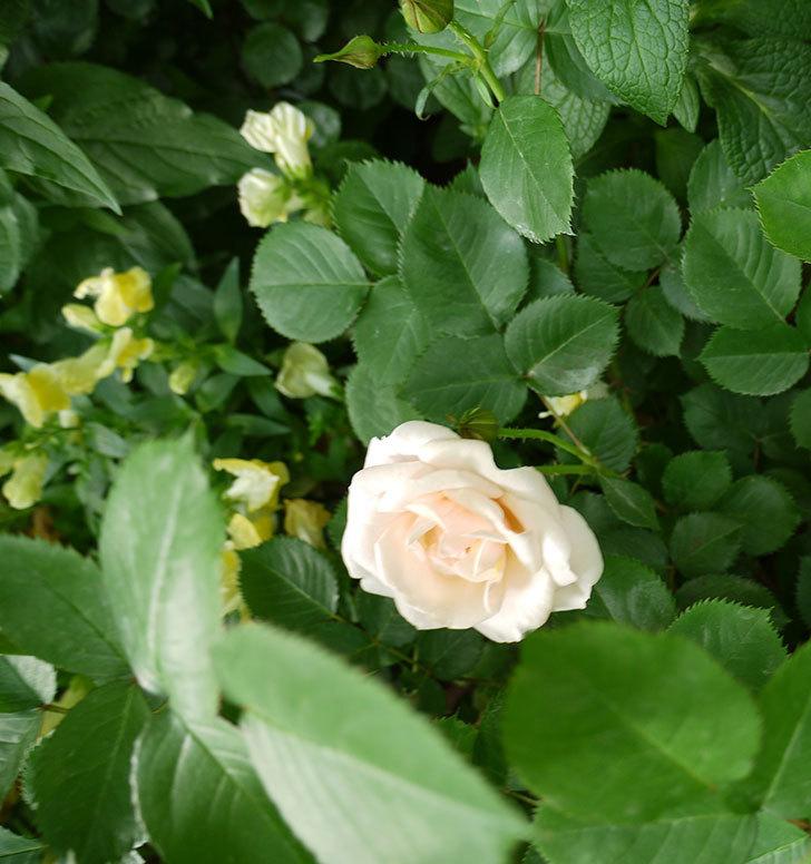 プリティ・レディ(木立バラ)の花が咲いた。2017年-5.jpg