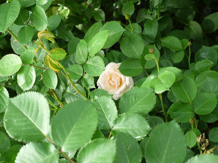 プリティ・レディ(木立バラ)の花が咲いた。2017年-7.jpg