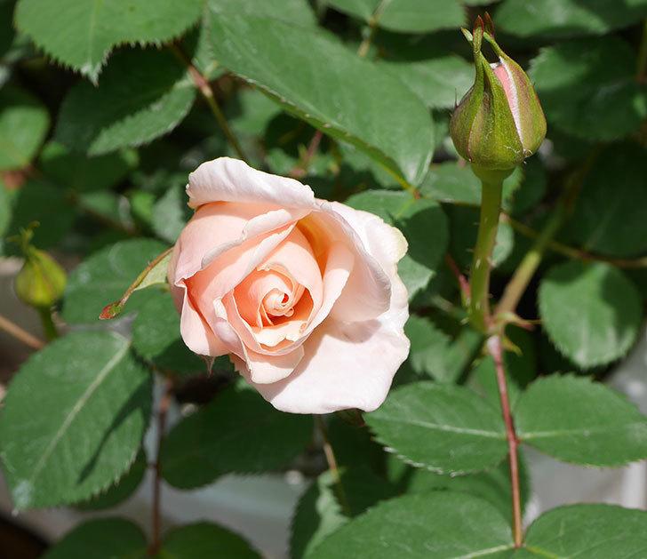 プリティ・レディ(木立バラ)の花が咲いた。2019年-1.jpg