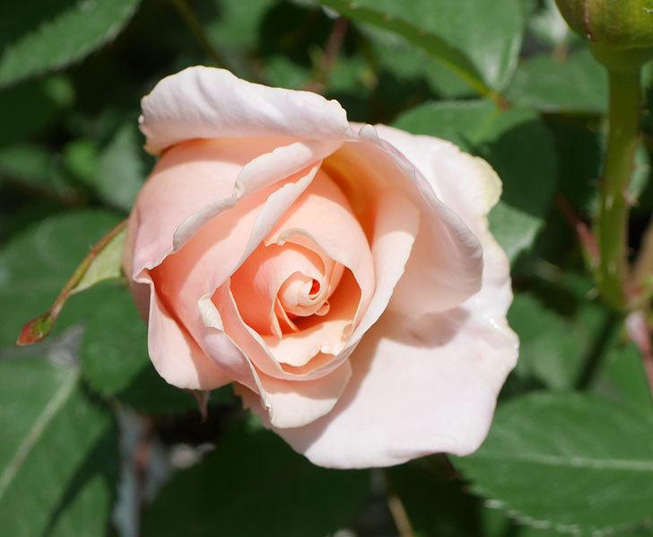 プリティ・レディ(木立バラ)の花が咲いた。2019年-2.jpg