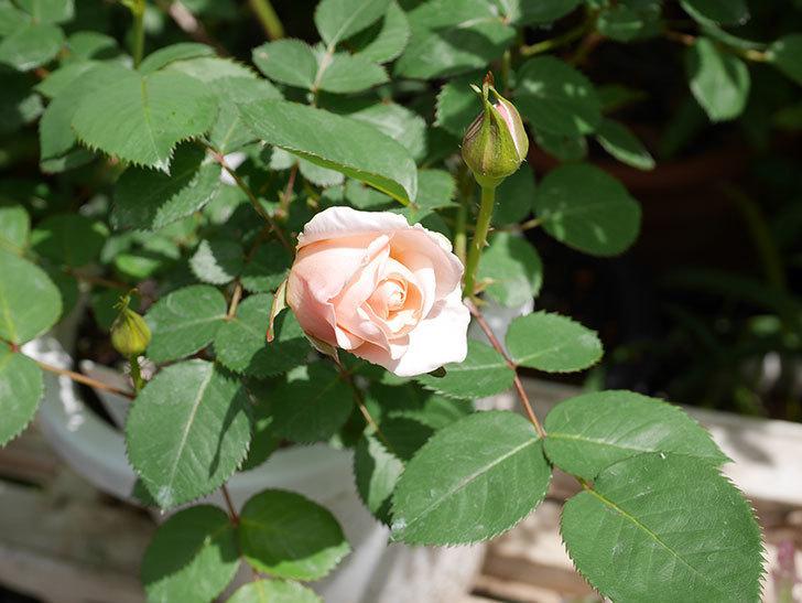 プリティ・レディ(木立バラ)の花が咲いた。2019年-3.jpg