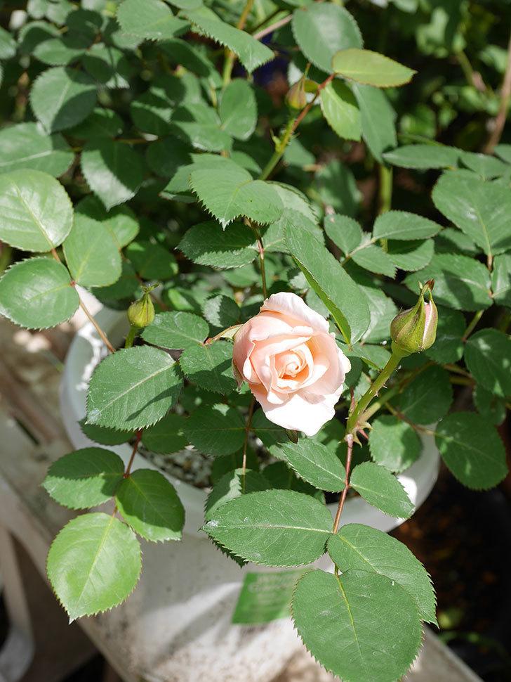 プリティ・レディ(木立バラ)の花が咲いた。2019年-5.jpg