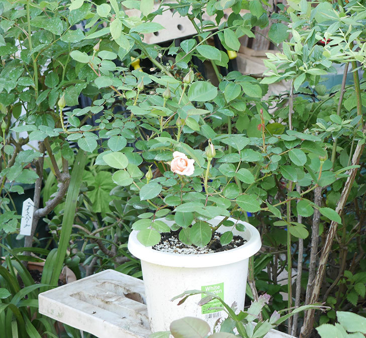 プリティ・レディ(木立バラ)の花が咲いた。2019年-6.jpg
