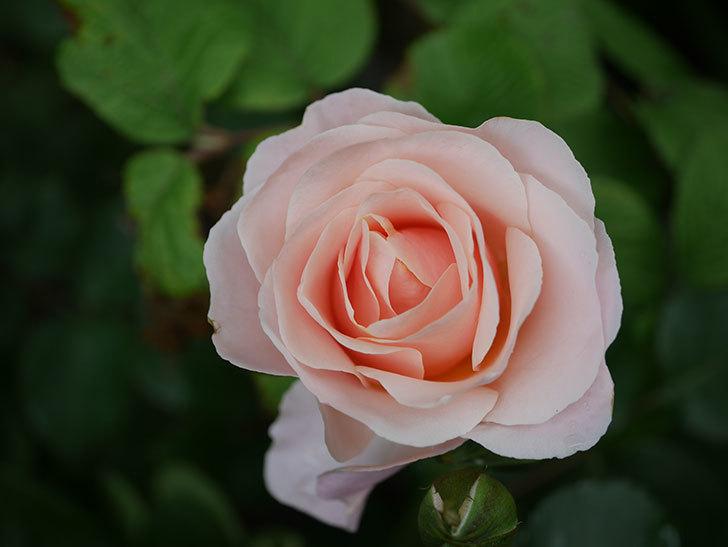 プリティ・レディ(木立バラ)の花が咲いた。2020年-1.jpg