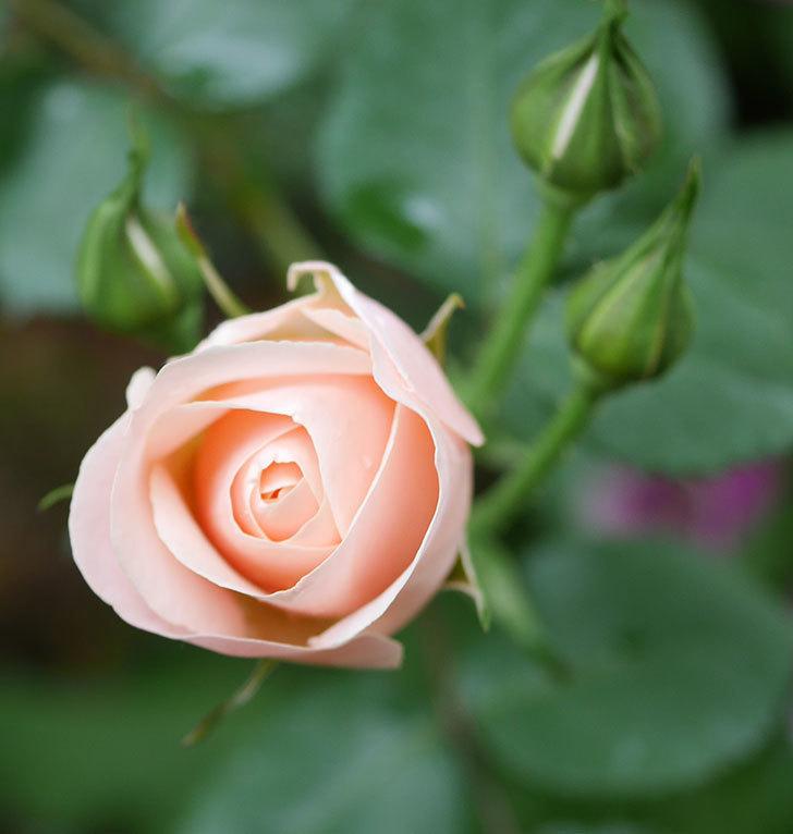 プリティ・レディ(木立バラ)の花が咲いた。2020年-3.jpg