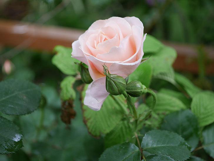 プリティ・レディ(木立バラ)の花が咲いた。2020年-4.jpg