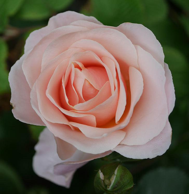 プリティ・レディ(木立バラ)の花が咲いた。2020年-5.jpg