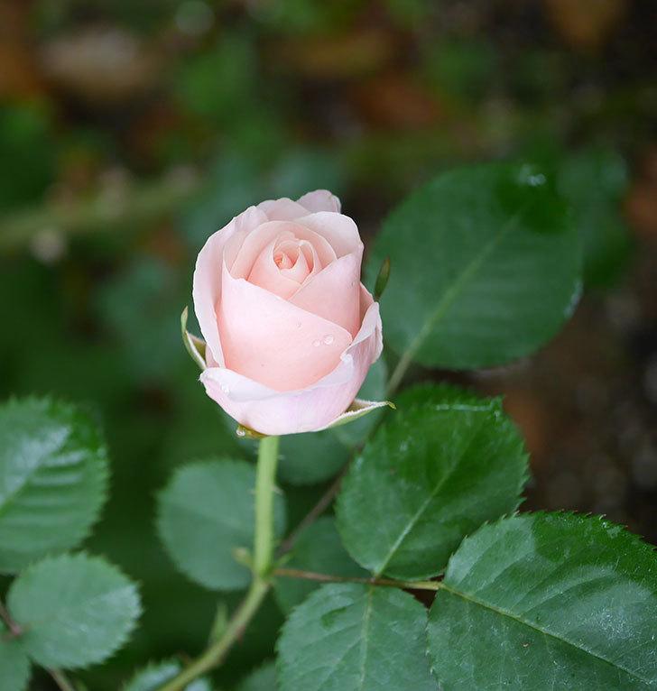 プリティ・レディ(木立バラ)の花が咲いた。2020年-6.jpg