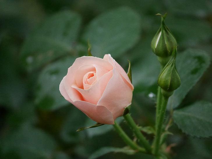 プリティ・レディ(木立バラ)の花が咲いた。2020年-7.jpg