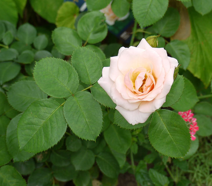 プリティ・レディ(木立バラ)の花が増えてきた。2016年-1.jpg