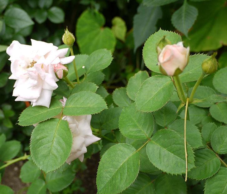 プリティ・レディ(木立バラ)の花が増えてきた。2016年-4.jpg