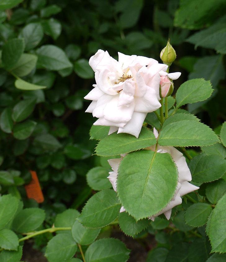 プリティ・レディ(木立バラ)の花が増えてきた。2016年-6.jpg