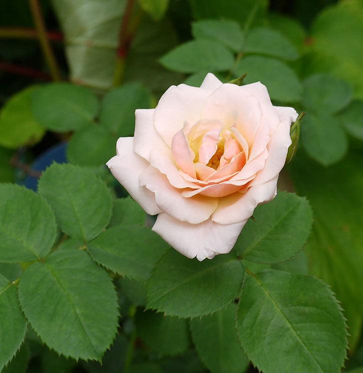 プリティ・レディ(木立バラ)の花が増えてきた。2016年-7.jpg