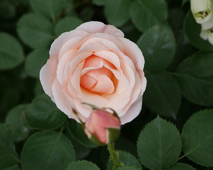 プリティ・レディ(木立バラ)の花が増えて来た。2019年-2.jpg