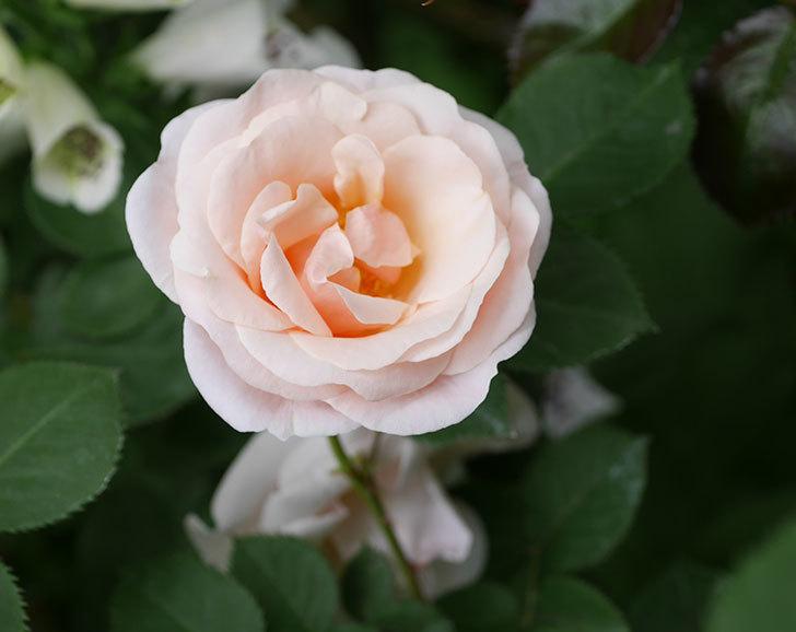 プリティ・レディ(木立バラ)の花が増えて来た。2019年-3.jpg
