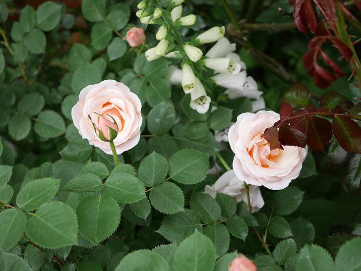 プリティ・レディ(木立バラ)の花が増えて来た。2019年-5.jpg