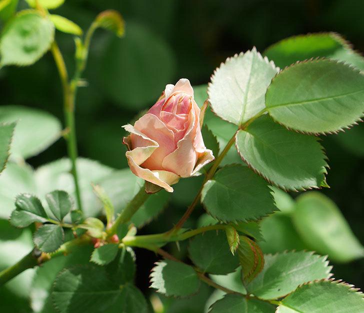 プリティ・レディ(木立バラ)の蕾が色づいてきた。2018年-1.jpg