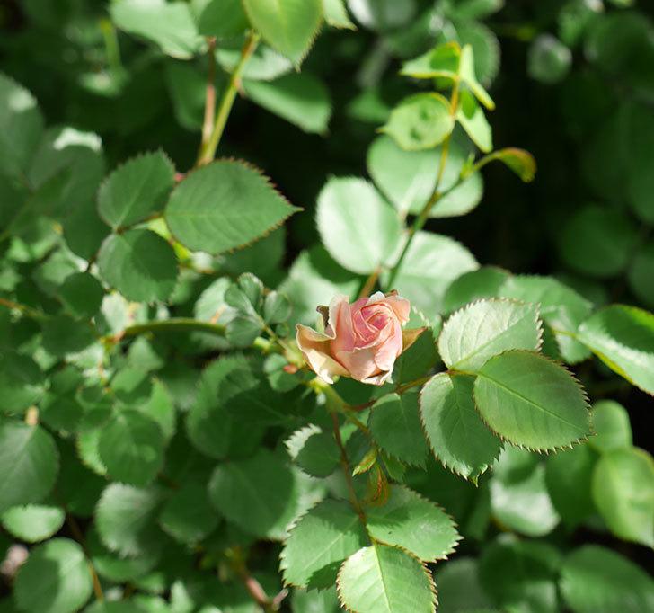 プリティ・レディ(木立バラ)の蕾が色づいてきた。2018年-3.jpg