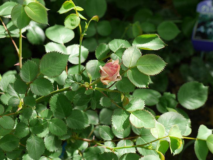 プリティ・レディ(木立バラ)の蕾が色づいてきた。2018年-4.jpg