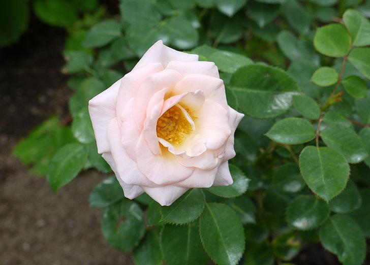 プリティ・レディ(木立バラ)の開花株の花がまた咲いた。2016年-1.jpg