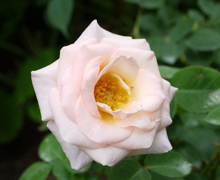 プリティ・レディ(木立バラ)の開花株の花がまた咲いた。2016年-3.jpg