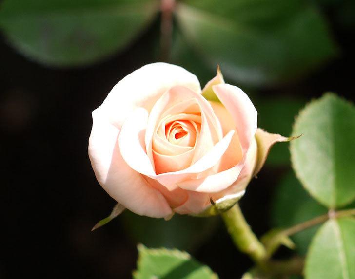 プリティ・レディ(木立バラ)の開花株の花がまた咲いた。2016年-5.jpg