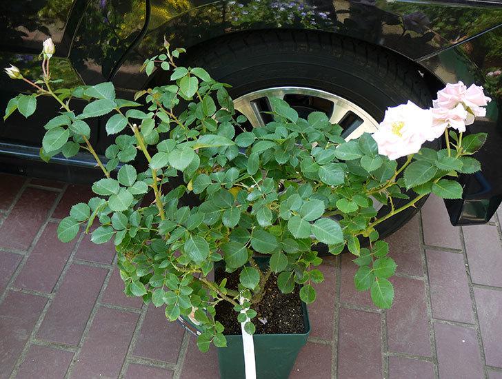プリティ・レディ(木立バラ)の開花株を買った。2016年-1.jpg