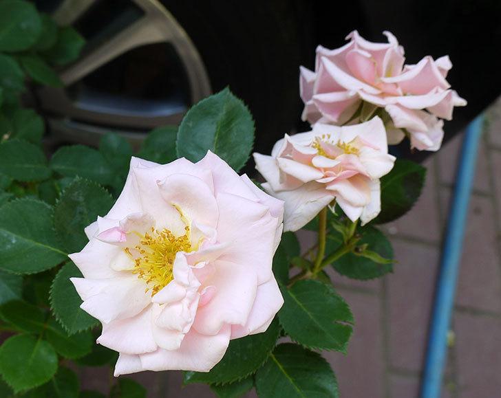 プリティ・レディ(木立バラ)の開花株を買った。2016年-2.jpg