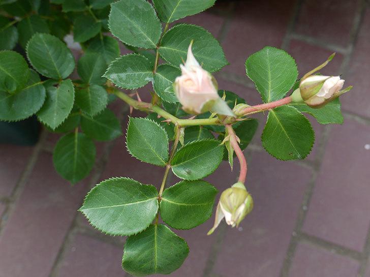 プリティ・レディ(木立バラ)の開花株を買った。2016年-9.jpg