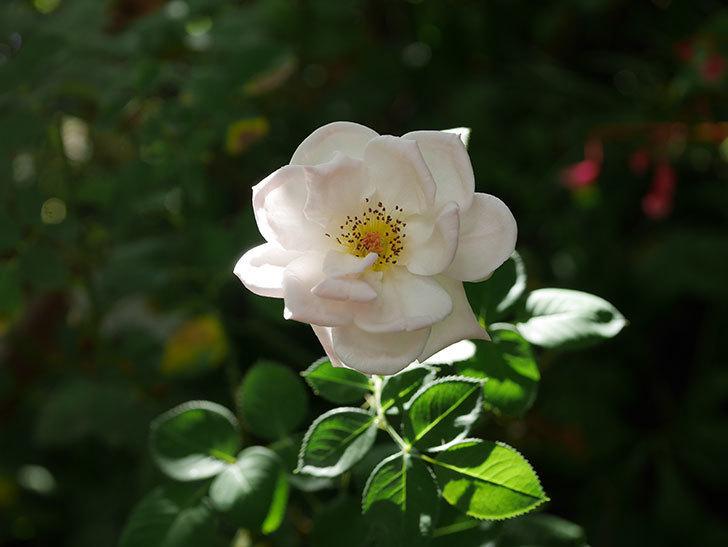 プリティ・レディ(Pretty Lady)の夏花が咲いた。木立バラ。2020年-001.jpg