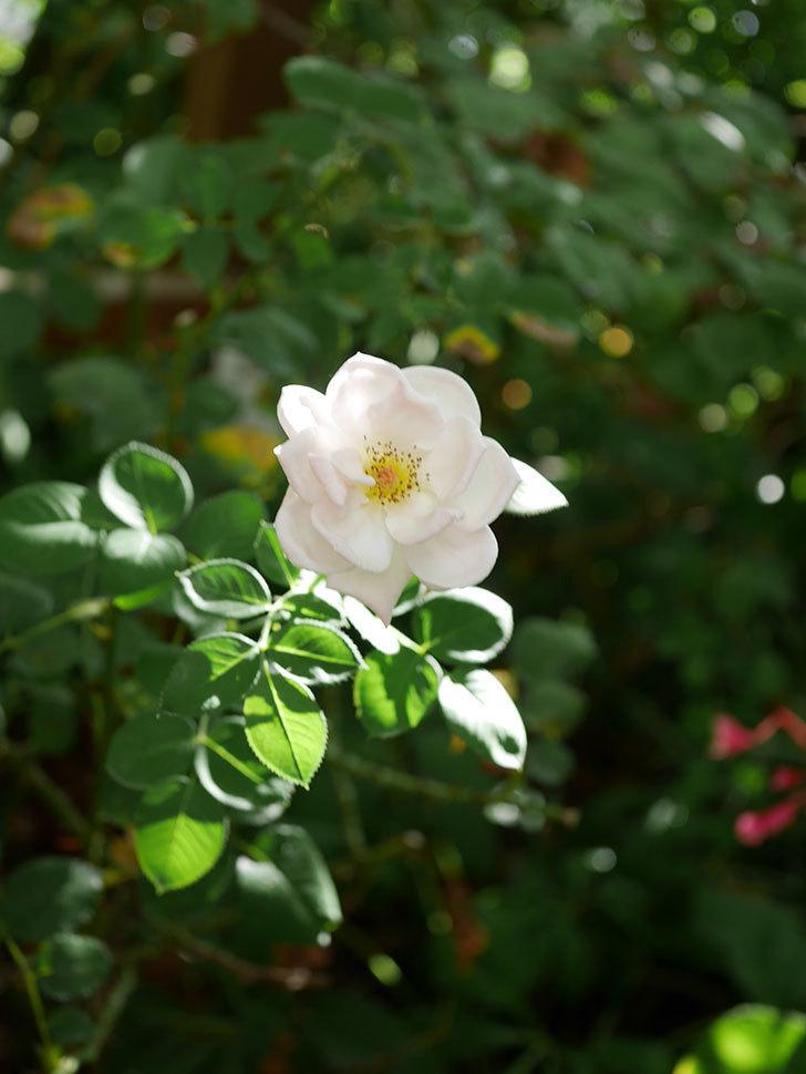 プリティ・レディ(Pretty Lady)の夏花が咲いた。木立バラ。2020年-002.jpg