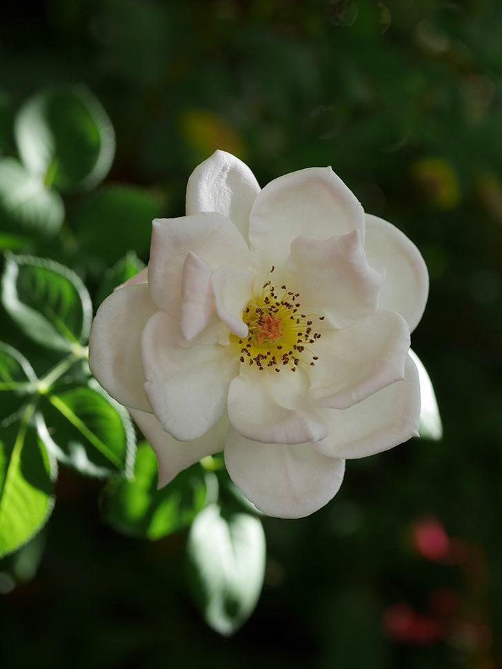 プリティ・レディ(Pretty Lady)の夏花が咲いた。木立バラ。2020年-004.jpg