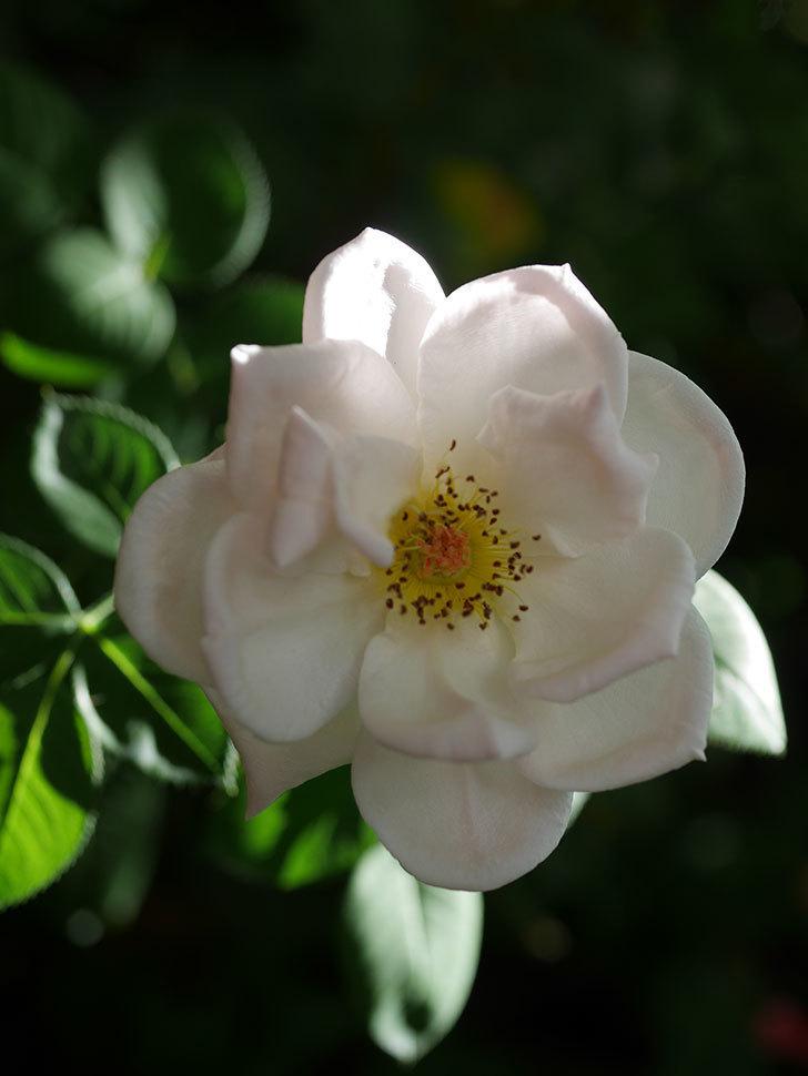 プリティ・レディ(Pretty Lady)の夏花が咲いた。木立バラ。2020年-005.jpg