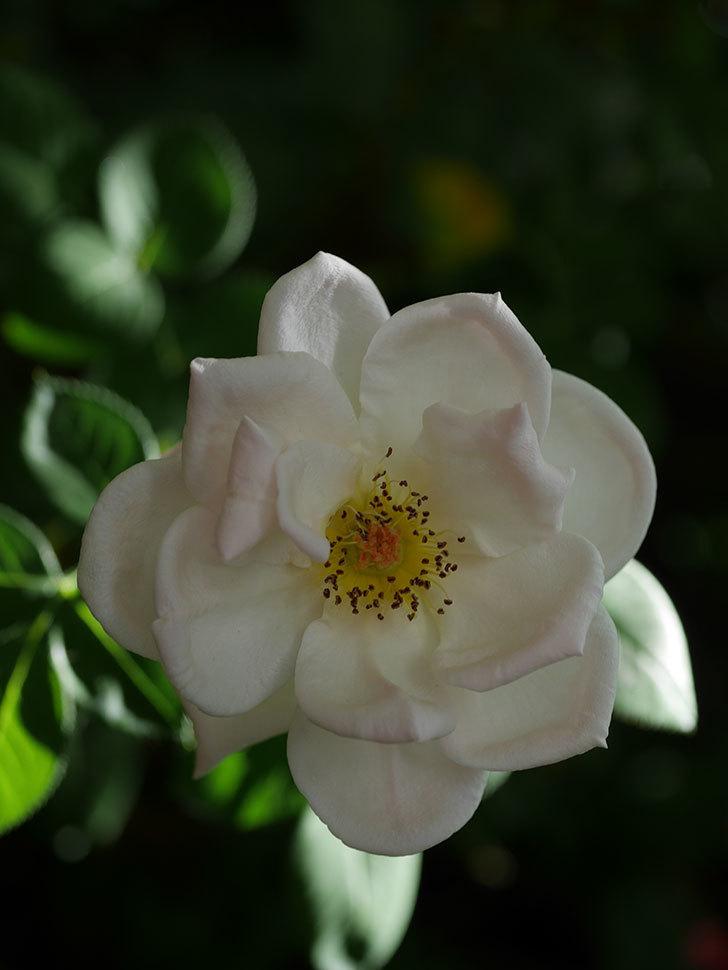 プリティ・レディ(Pretty Lady)の夏花が咲いた。木立バラ。2020年-006.jpg