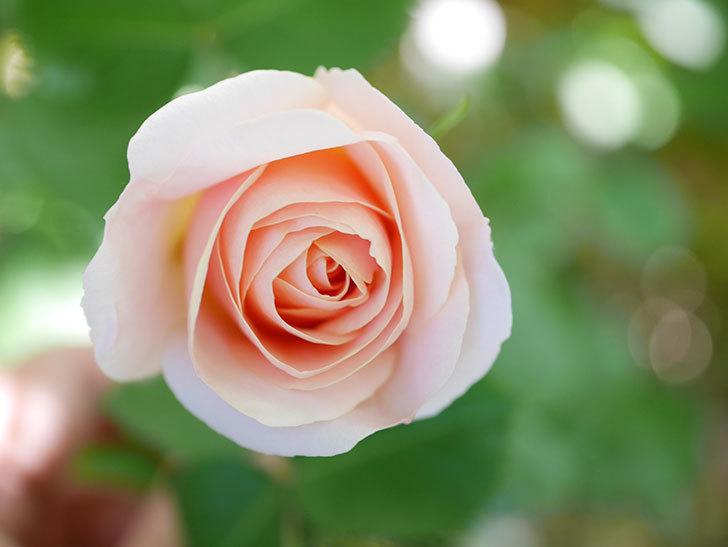 プリティ・レディ(Pretty Lady)の花が咲いた。木立バラ。2021年-007.jpg