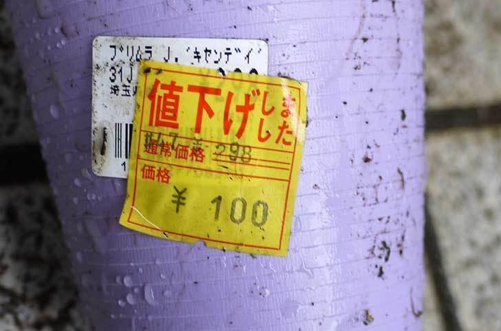 プリムラ・ジュリアン-キャンディがホームズで100円だったので買って来た2.jpg